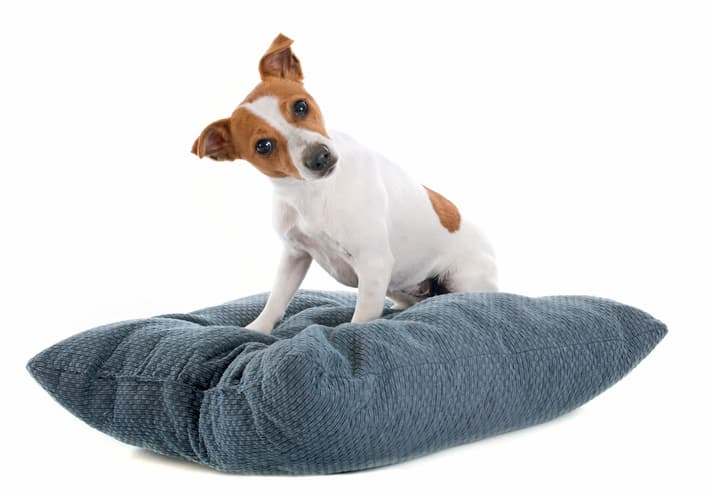 jack russell terrier on a blue dog bed pillow