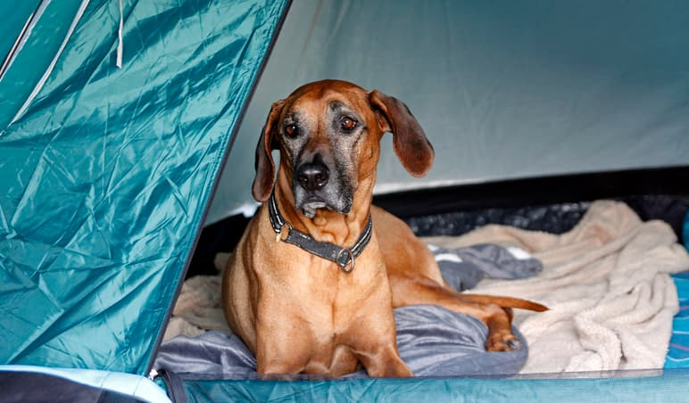 a dog sitting in the best tent for camping