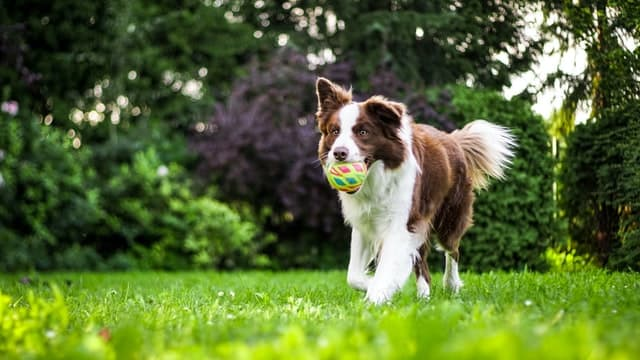 dog with ball camping